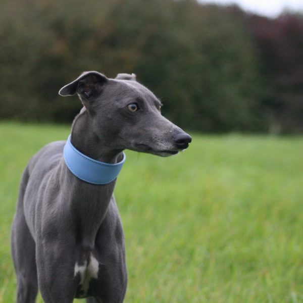 real leather blue whippet collar lurcher greyhound