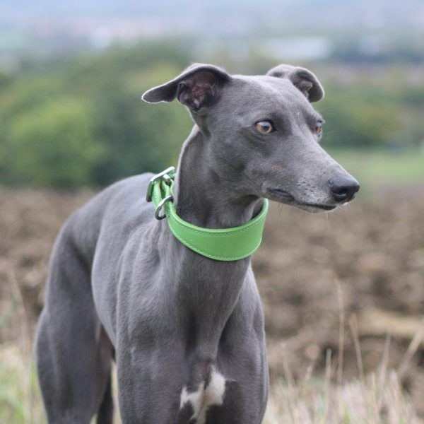 Green Leather Wide Collar Whippet Greyhound Italian Lurcher