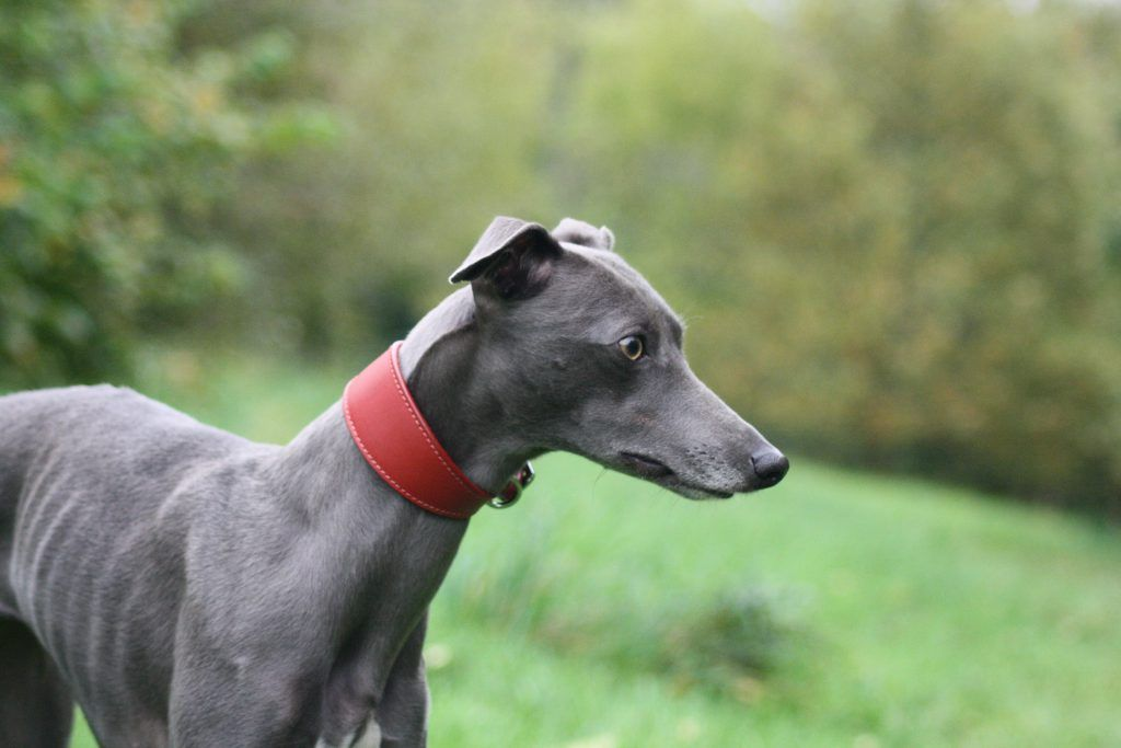 Red Leather Wide Whippet Greyhound Collar Italian Lurcher