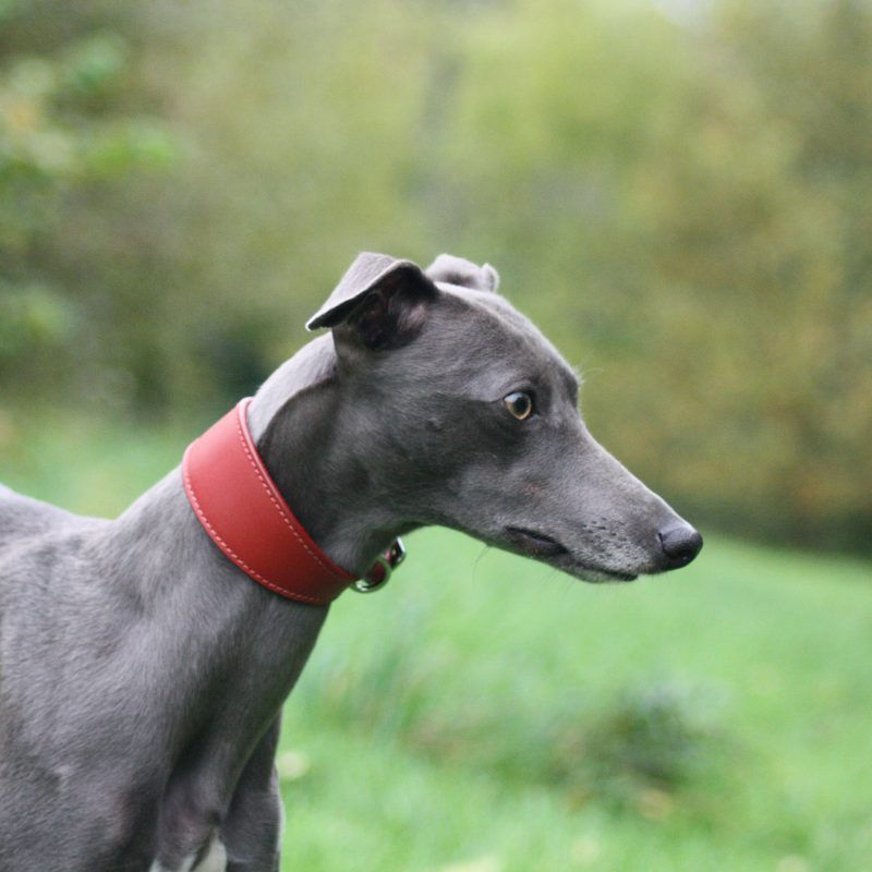 Red Leather Wide Collar Whippet Greyhound Italian Lurcher