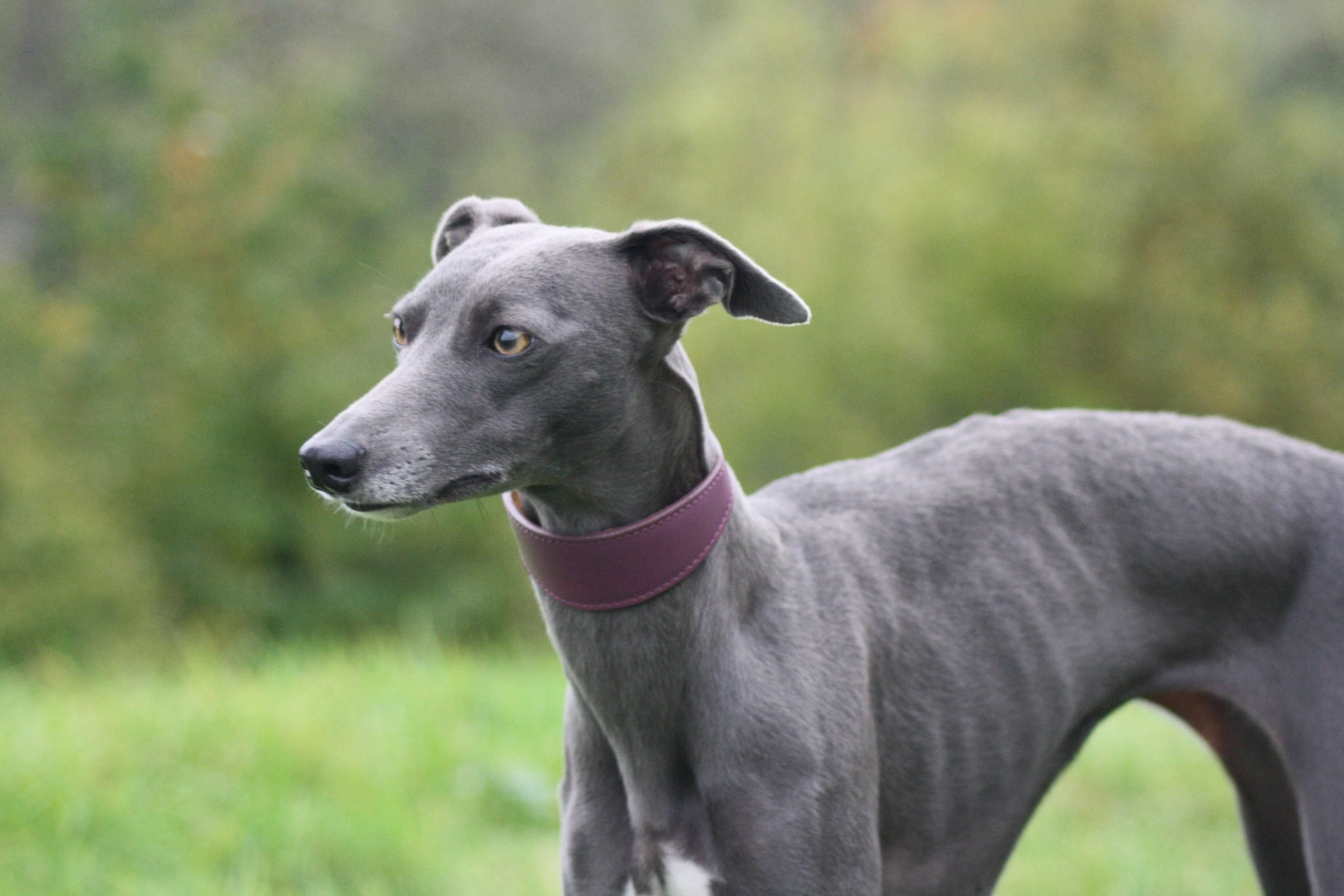 Purple Leather Whippet Collar Lurcher Greyhound Italian