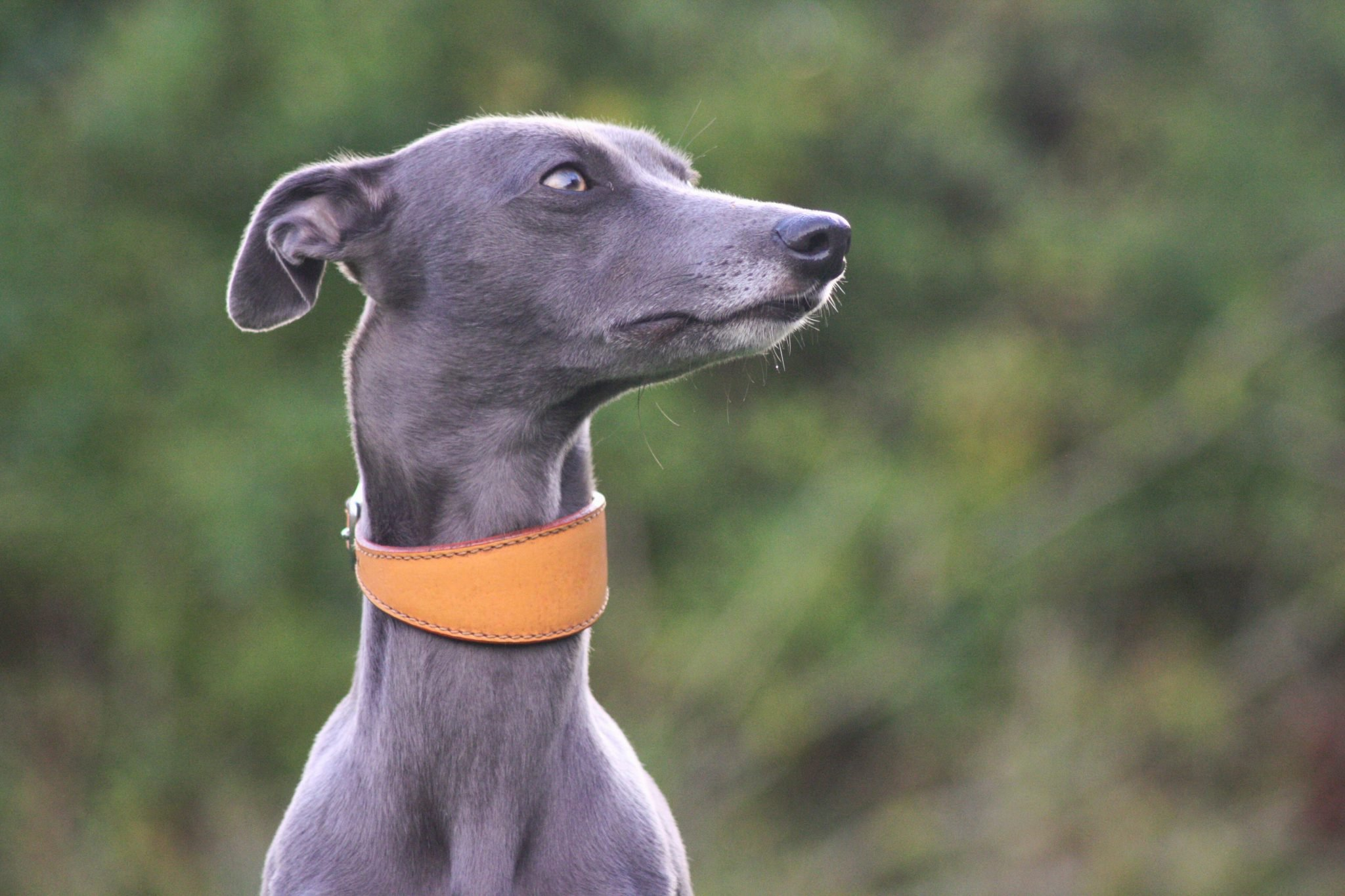 Real Leather Plain Wide Collars Whippet Lurcher Greyhound