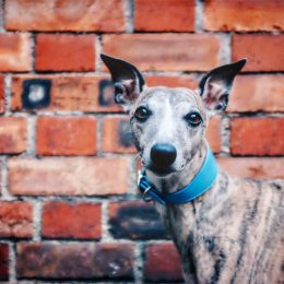 whippet greyhound collar