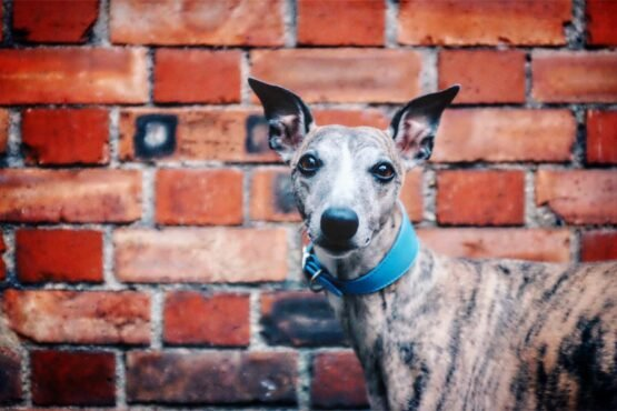 Blue Leather Wide Collar Whippet Greyhound Italian