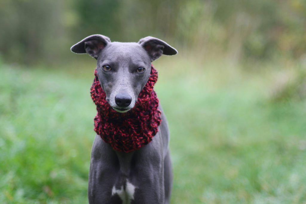 Whippet Dark Red Neck Warmer Lurcher Greyhound Italian