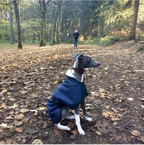 Whippet Puppy wearing our Navy Waterproof Fleece Coat