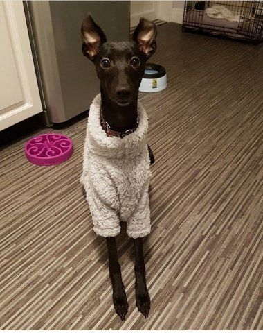 Whippet wearing our Grey Fluffy Jumper