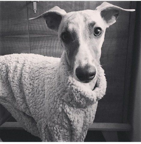 Whippet in our Grey Fluffy Jumper