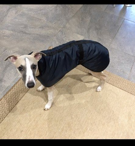 Whippet wearing our Waterproof Coat