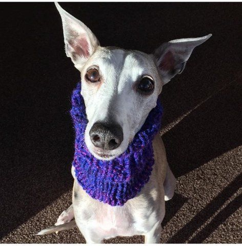 Whippet wearing our Neck Warmer