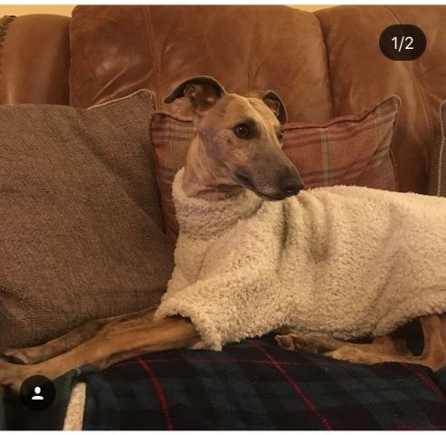 Whippet wearing our Fluffy Jumper