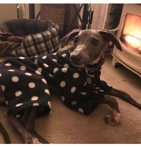 Italian Greyhound wearing our Polka Dot Onesie