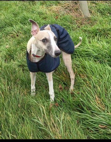 Whippet wearing our Navy Waterproof coat