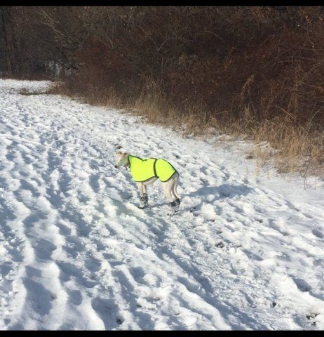 Whippet wearing our HI-VIS Waterproof coat