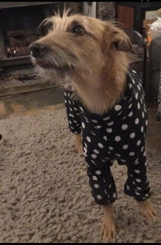 Lurcher in our Polka dot onesie