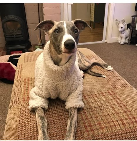 Flash Whippet wearing our Fluffy Jumper