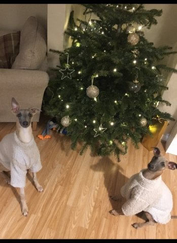 Whippets wearing our Fluffy Jumpers at Christmas