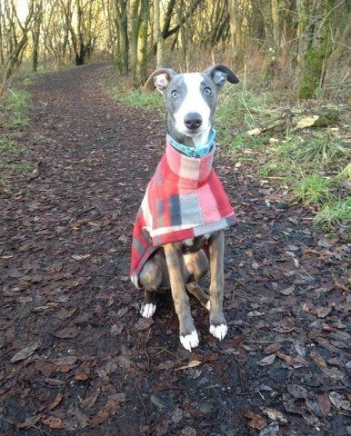 Whippet puppy wearing our Tartan Coat