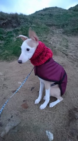 Whippet Puppy wearing our Neck Warmer and Burgundy Coat