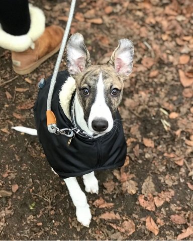 Whippet wearing our Black Waterproof Fleece Coat