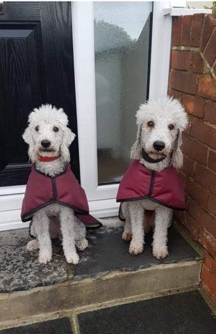 Bedlingtons wearing our Burgundy Waterproof Coats