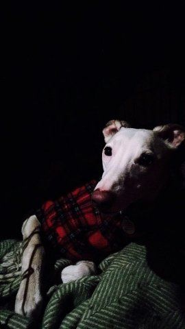 Whippet wearing our Tartan Coat