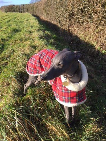 Whippet wearing our Tartan Sheepskin Coat