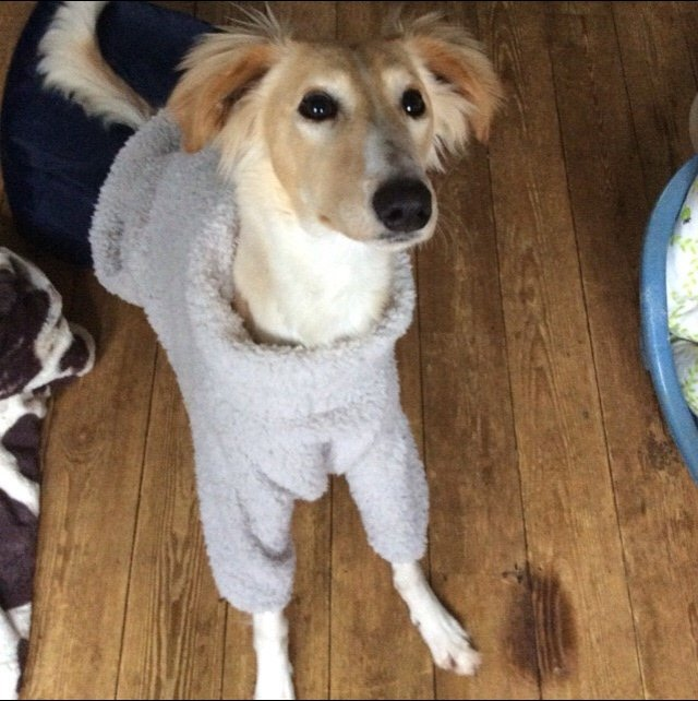 Saluki x Whippet wearing our Fluffy Jumper