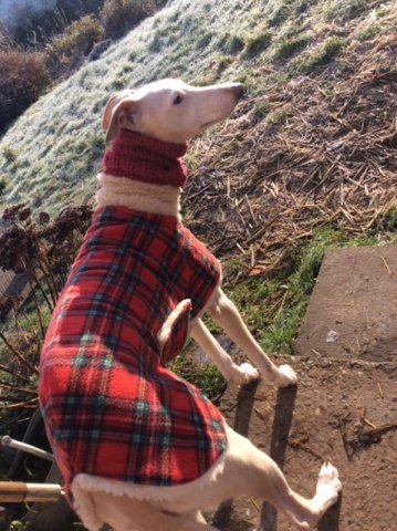 Whippet wearing our Tartan Sheepskin Coat and Knit Neck Warmer