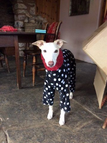 Whippet wearing our Polka Dot Onesie and Knit Neck Warmer