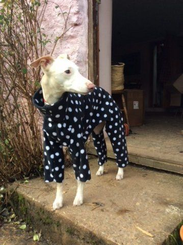 Whippet wearing our Polka Dot Onesie