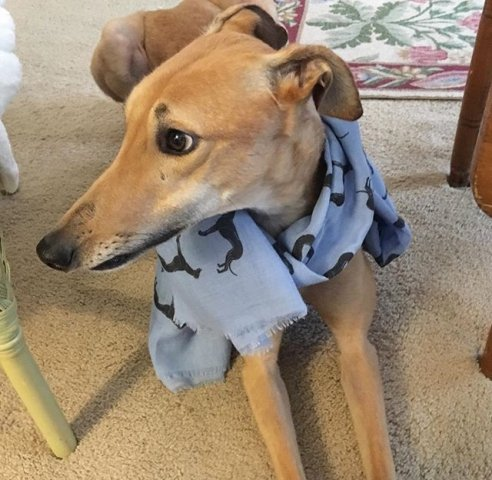 Greyhound wearing our HUMAN Scarf :)