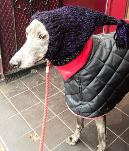 Whippet wearing our Knitted Hat