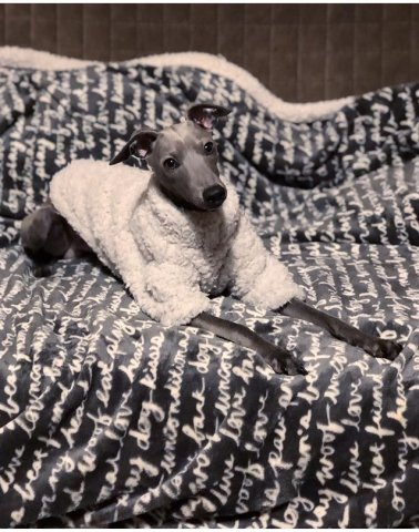 Italian Greyhound wearing our Fluffy Jumper