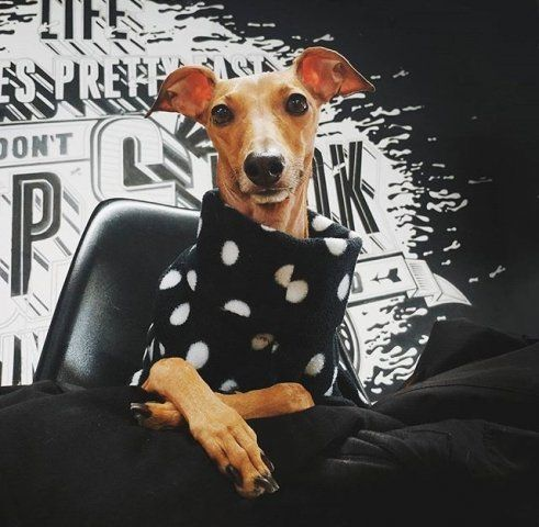 Italian Greyhound wearing our Polka Dot Onesie