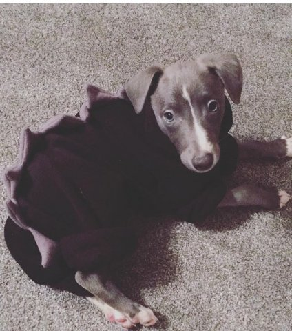Whippet Puppy wearing our Dinosaur Onesies Pyjamas