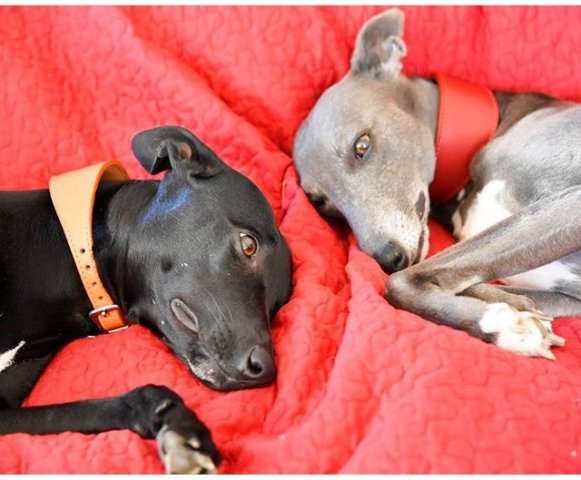 Whippets wearing our Leather Sighthound Collars