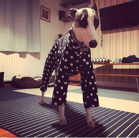 Whippet wearing our Polka Dot Onesies Pyjamas