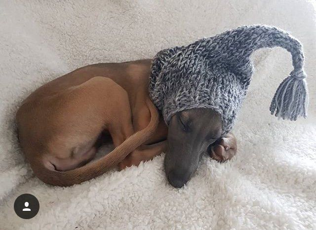 Whippet Puppy wearing our Knitted Hat