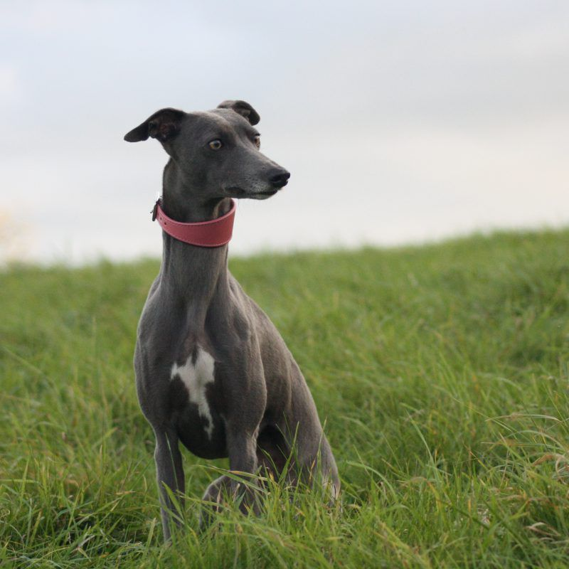 Whippet Pink Wide Leather Collar Greyhound Italian Sighthound
