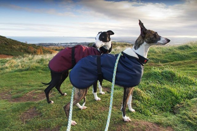 Whippets wearing our Waterproof Fleece Coats in Navy + Burgundy
