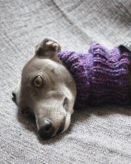 whippet snood greyhound