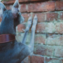 whippet collar greyhound