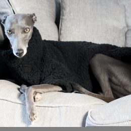 jumper whippet greyhound
