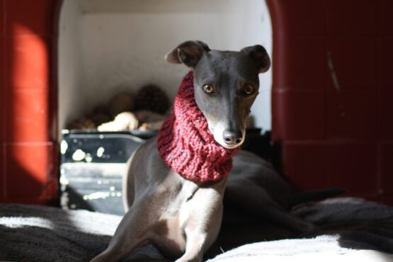 snood whippet greyhound
