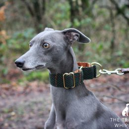 whippet greyhound martingale collar