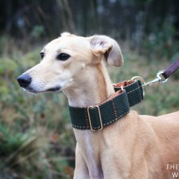 martingale whippet greyhound