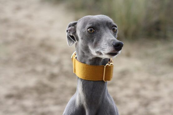 martingale collar whippet greyhound