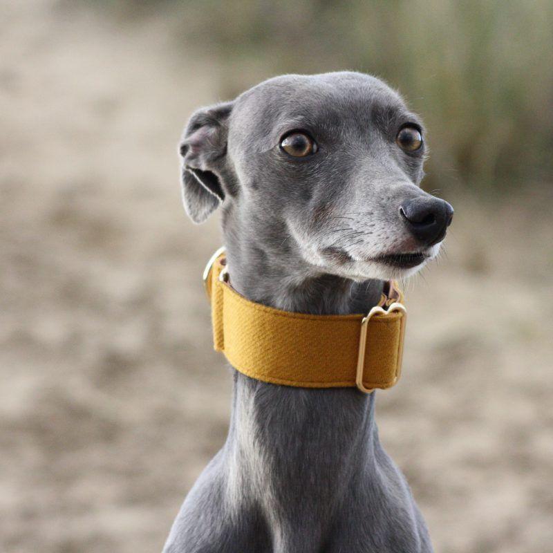 Mustard Yellow Martingale Collar Greyhound Italian Sighthound