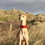 whippet greyhound martingale